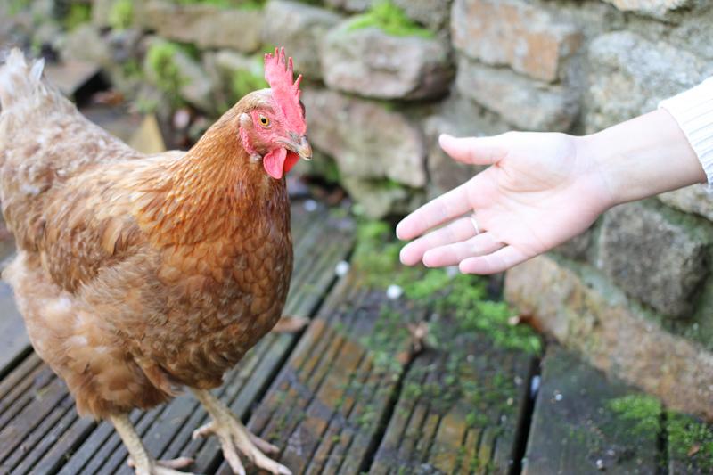 Des poules dans le jardin pourquoi le blog de Poule dans le jardin