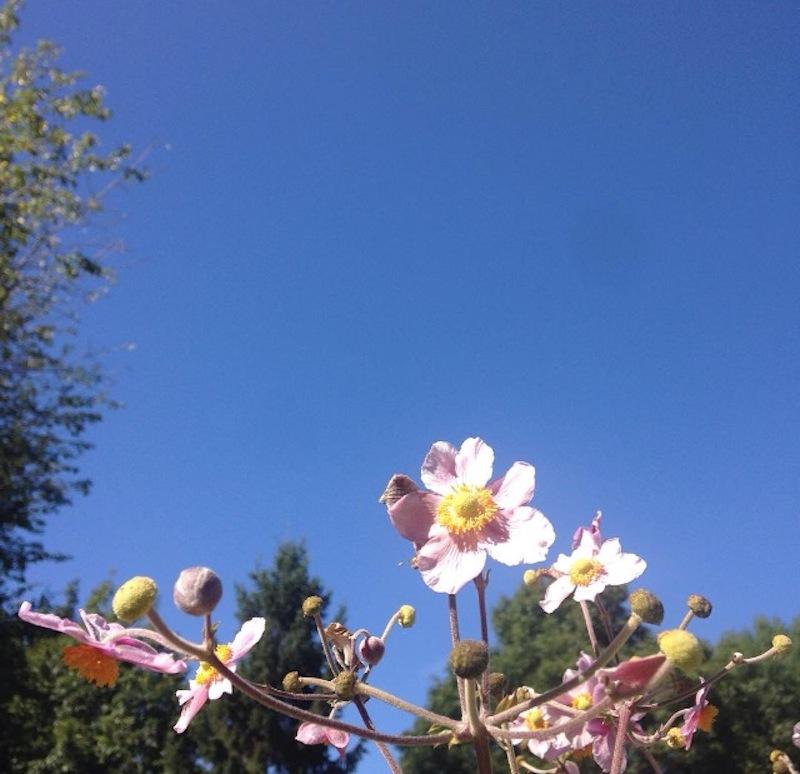anemone du Japon
