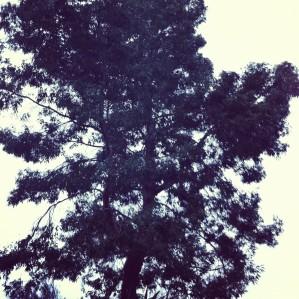 eucalyptus.jpg