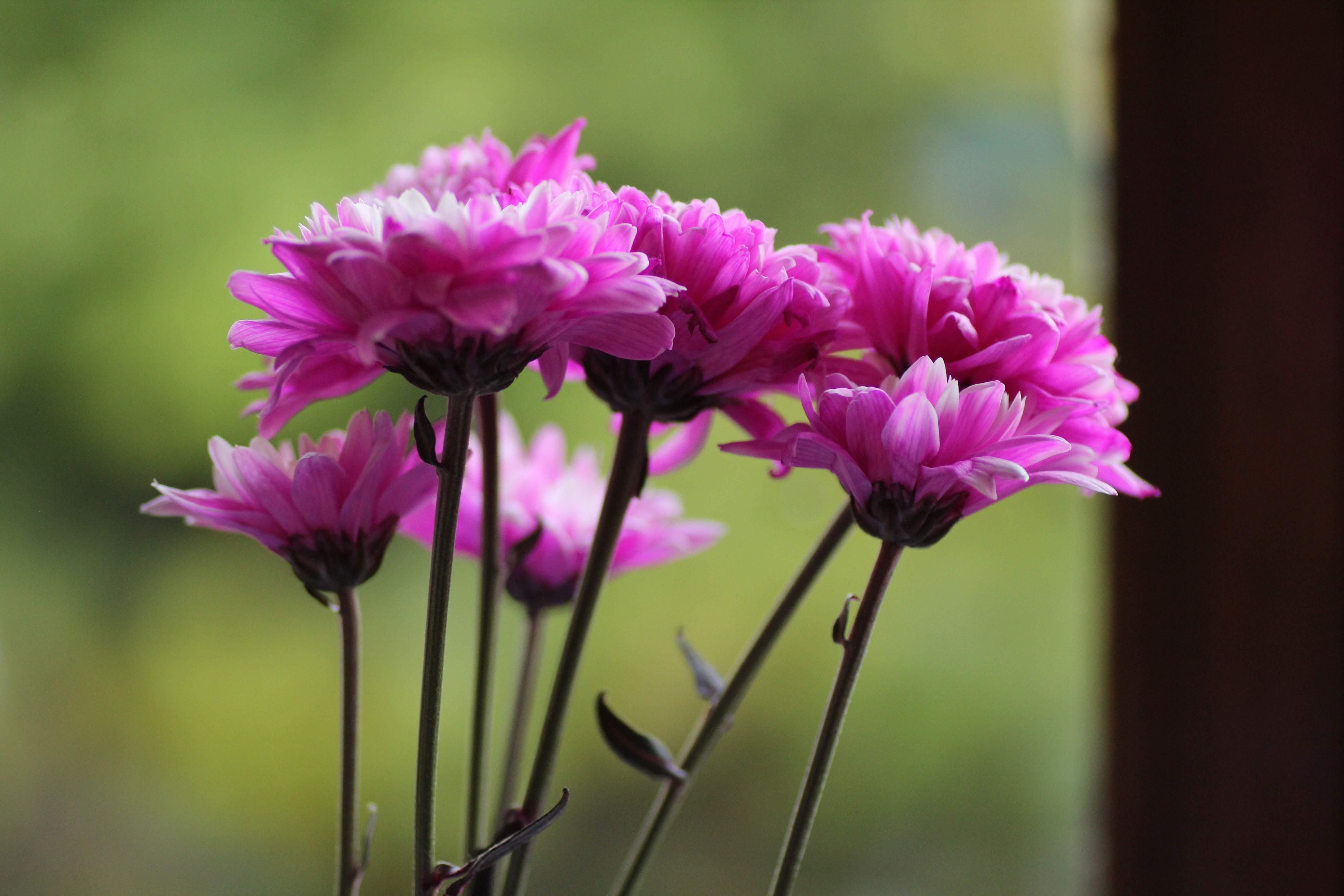 fleursroses2