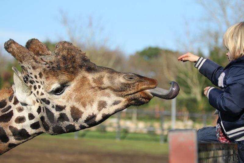 Giraffe_PontScorff